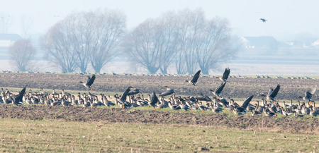 wildlive: Wild geese, mainly bean geese are eating young shoots of the cereal crop heartily  Fot  Piotr Kamionka