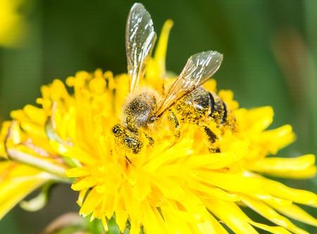 corpuscles: Bee on the dandelion flower