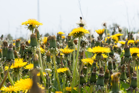 Yellow dandelion flower head of hundreds of smaller florets and seed head  photo