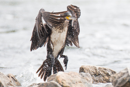 devouring: Cormorants are drying wings on the river