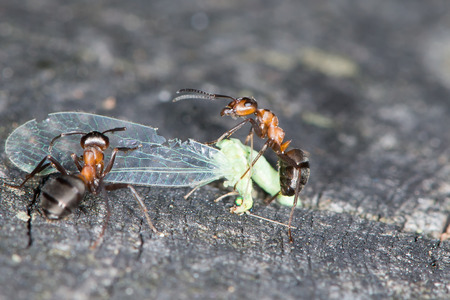 ameisenhaufen: Waldameisen tragen das Insekt in die Ameisenhaufen