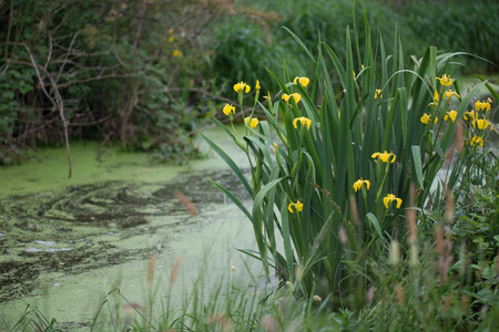 bogs: Daffodils are covering the border of the bog