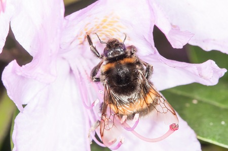corpuscles: The bumblebee is drinking the nectar of the flower of the wild rose Stock Photo
