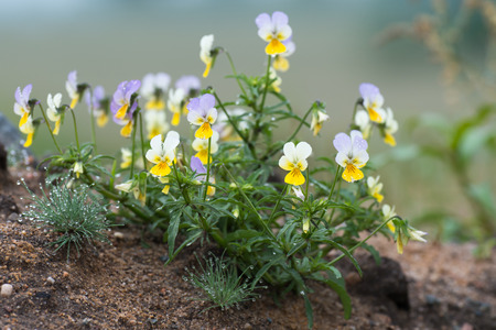 at ease: Viola tricolor known as heartsease , hearts ease , hearts delight , tickle my fancy , Jack jump up and kiss me , come and cuddle me , three faces in a hood , or love in idleness