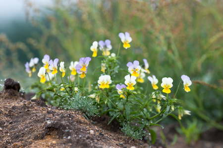 come in: Viola tricolor known as heartsease , hearts ease , hearts delight , tickle my fancy , Jack jump up and kiss me , come and cuddle me , three faces in a hood , or love in idleness