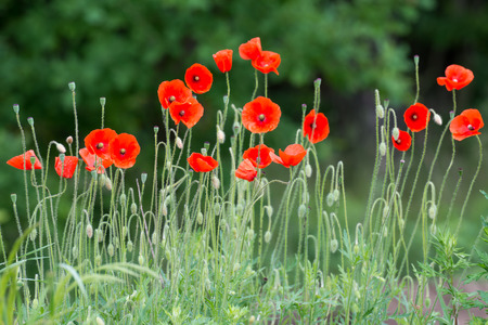 papaver rhoeas: Papaver rhoeas common names include corn poppy , corn rose , field poppy , Flanders poppy , red poppy , red weed , coquelicot