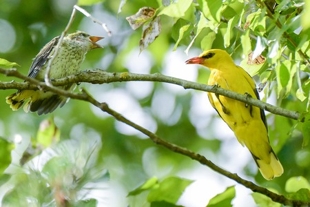 oriole: The Eurasian golden oriole or simply golden oriole is feeding chick