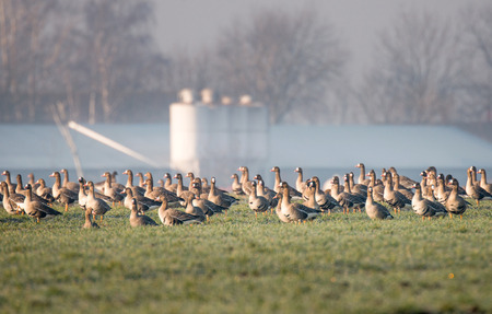 greylag: Wild geese - The Greylag Goose on boggy meadows.