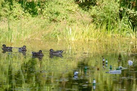 amongst: Mallard ducks amongst rubbish