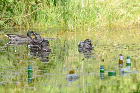 wastes: Mallard ducks amongst rubbish