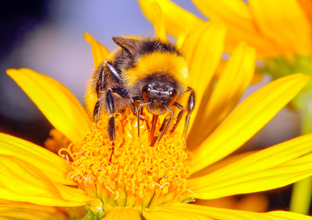 corpuscles: The bumblebee is drinking the nectar of the flower of the flower