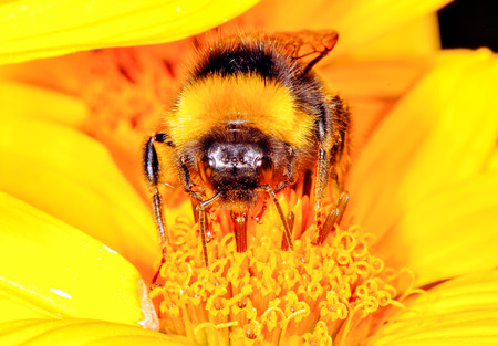beneficial insect: The bumblebee is drinking the nectar of the flower of the flower