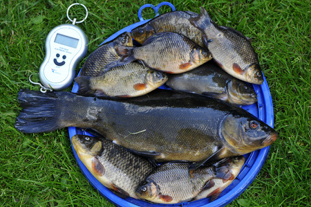 tench: The crucian carp and the tench or doctor fish