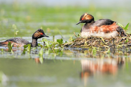 necked: The Black - necked Grebe known in North America as the Eared Grebe Stock Photo