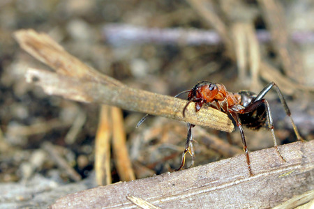anthill: Wood ants are carrying twigs to the anthill