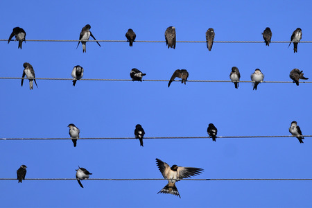 martin: Swallows of the house martin lounged on wire high-voltage lines