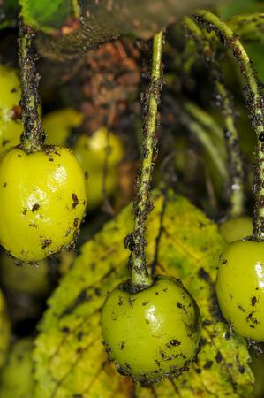 arbol de problemas: Pulgones en los frutos del árbol de cerezo