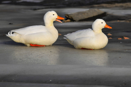 escaped: White variety of farm ducks escaped to the freedom