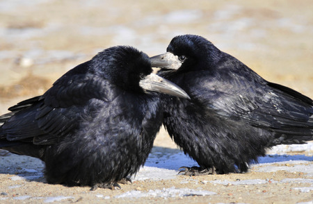 quenching: Thirsty rooks are eating the snow