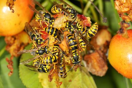 eating fruits: Las avispas est�n comiendo frutos del �rbol de cerezo Foto de archivo