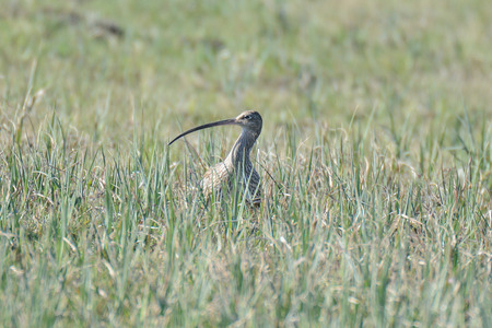 conspicuous: Central europ Curlews return from their winter quarters on coastal estuaries to their breeding grounds during March Their far carrying bubbling call is perhaps the most evocative of all spring bird sounds and Curlews are very conspicuous during this terri