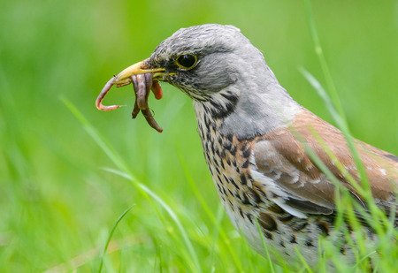 earthworms: The fieldfare is catching earthworms in order to breastfeed with them young