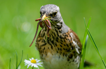 breastfeed: The fieldfare is catching earthworms in order to breastfeed with them young