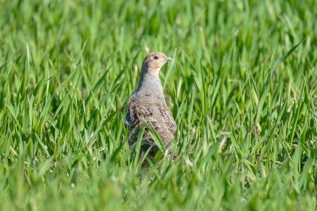 kuropatwa: The Partridge jest maskowanie na polu żyta samego Zdjęcie Seryjne