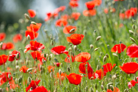 include: Papaver rhoeas common names include corn poppy , corn rose , field poppy , Flanders poppy , red poppy , red weed , coquelicot Stock Photo