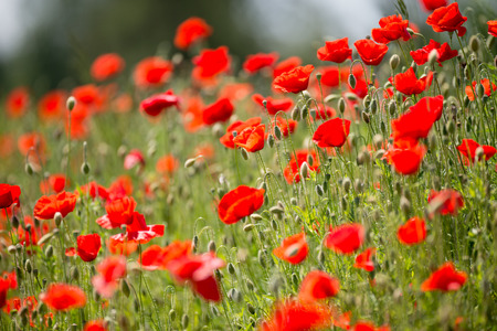 papaver: Papaver rhoeas common names include corn poppy , corn rose , field poppy , Flanders poppy , red poppy , red weed , coquelicot Stock Photo