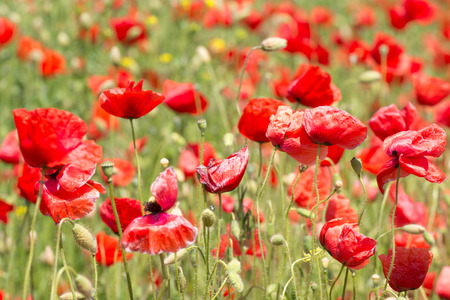 papaver rhoeas: Papaver rhoeas common names include corn poppy , corn rose , field poppy , Flanders poppy , red poppy , red weed , coquelicot Stock Photo