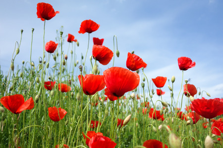 flanders: Papaver rhoeas common names include corn poppy corn rose Flanders poppy field poppy red poppy red weed coquelicot