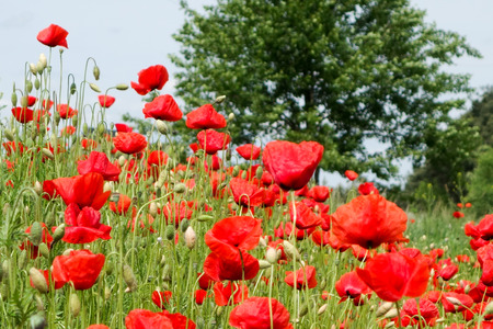 papaver: Papaver rhoeas common names include corn poppy corn rose Flanders poppy field poppy red poppy red weed coquelicot