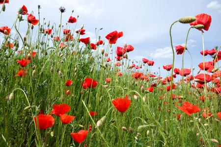 amapola: Papaver rhoeas nombres comunes incluyen maíz amapola de maíz aumentó Flandes amapola adormidera campo de amapola roja hierba roja coquelicot Foto de archivo