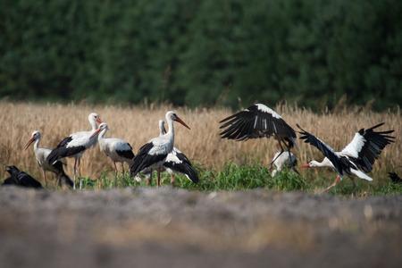 assemblies: White storks on a rye field