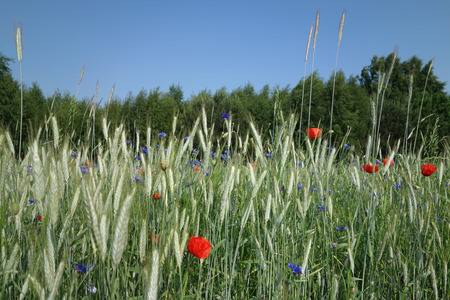 fertile land: The rye cornflowers and poppies