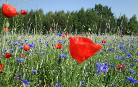 fields of flowers: The rye cornflowers and poppies