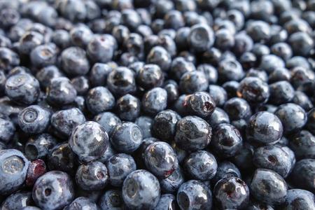 bilberries: July harvest of forest bilberries