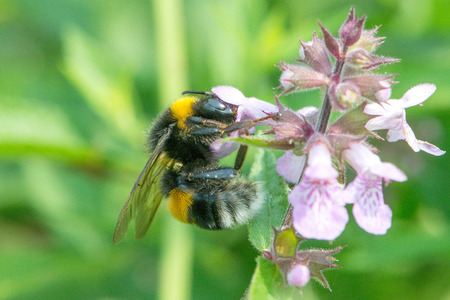 corpuscles: The bumblebee is drinking the nectar of flowers Dust corpuscles
