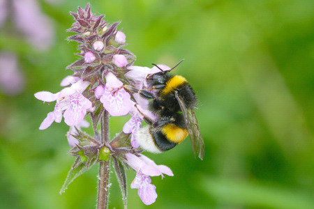 beneficial insect: The bumblebee is drinking the nectar of flowers Dust corpuscles
