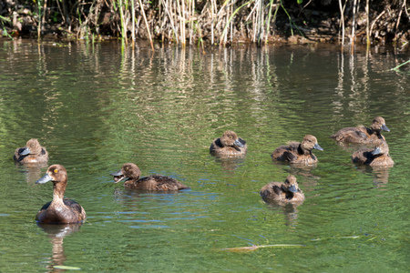 tufted: Tufted duck from young on the pond
