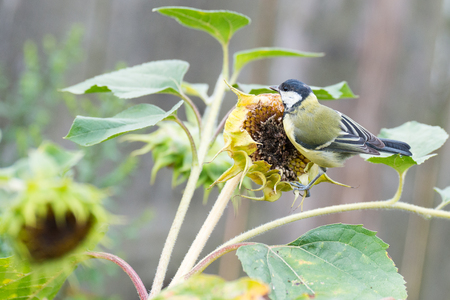 great tit: Tit the great tit is eating grains from the sunflower