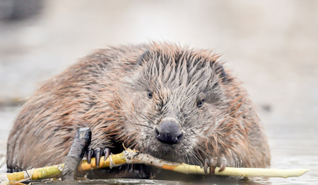 vermin: Beavers are chewing on branches on the river.