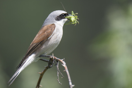 vermin: The red-backed shrike on the bush of blackberries with the caught insect Stock Photo