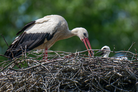 nesting: Nest of white storks Family in which they were born four young