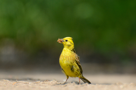 The yellowhammer is keeping larvae of butterflies in the beak Stock Photo