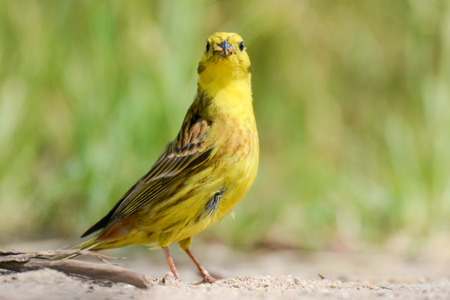 vermin: The yellowhammer is keeping larvae of butterflies in the beak Stock Photo