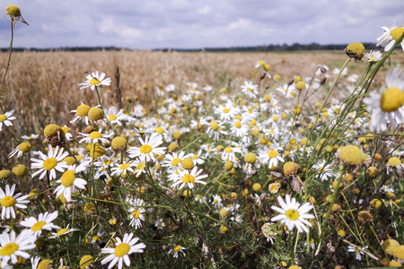 dotted: Meadows dotted with flowers with camomile Stock Photo