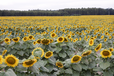 Cultivation of sunflowers in Poland Stock Photo