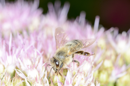 corpuscles: A honey bee is clearing the nectar and dust corpuscles away from flowers